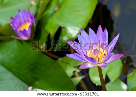 purple twin lotus is blooming in the morning sunlight