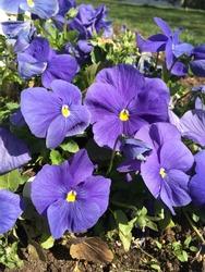 Purple violet in botanic garden