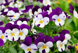 Purple Violet Pansies, Tricolor Viola Closeup. Flowerbed with Viola Flowers, Heartsease, Johnny Jump up or Three Faces in a Hood Flower Texture Background