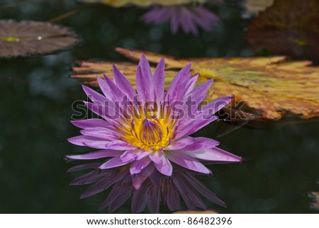 Purple water lily in a pond,can be use for health/wellness/spa related concept design