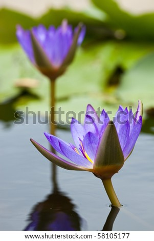Purple water lily in a pond with refection