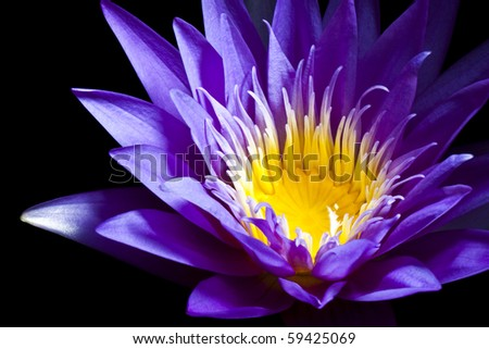 Purple water lily on black background