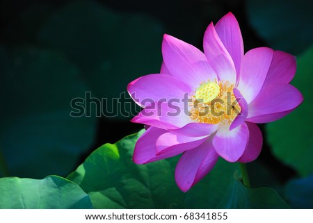purple water-lily portrait with copy space