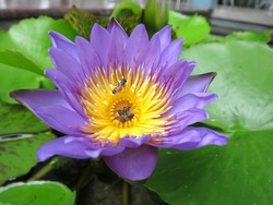 Purple water lily with green lily pads, Purple lotus flower.
