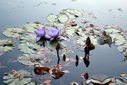 Purple waterlilies with leaves against the light.