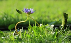 Purple waterlily flower in the middle of green grass in the summer morning sunlight