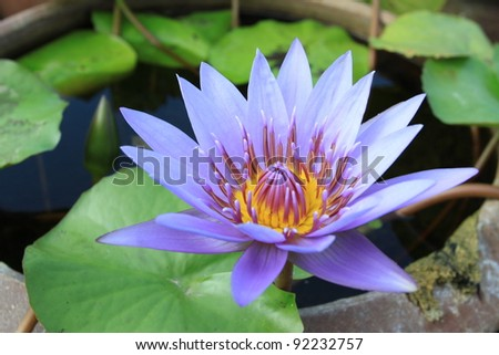 Purple waterlily is blooming with soft sunlight
