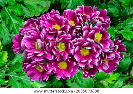Purple white Chrysanthemum bush variety Haydar in autumn garden. Flowers with yellow centers and white tips on petals with leaves. Fall floral background - gardening, floriculture or holiday concept