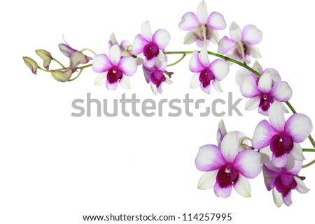 Purple And White Orchid Flowers Purple White Orchid on White