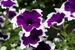 purple white petunia