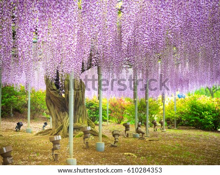 Purple wisteria blossom tree at Ashikaga flower park