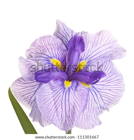 Purple, yellow and white flower of a Japanese iris cultivar (Iris ensata) isolated against a white background