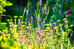 Purple, yellow, dark pink meadow flowers lit by the sun. Summer flowering.