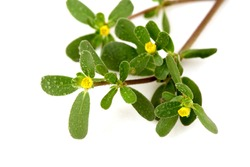 Purslane, Common purslane, Common garden purslane, Pigweed purslane, Phak Bia Yai (Thai name) (Portulaca oleracea L.) has medicinal properties.