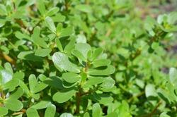 Purslane plants: Portulaca oleracea common purslane, verdolaga, red root