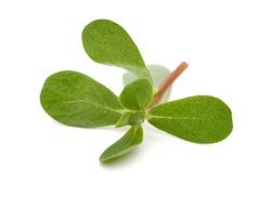 Purslane Portulaca oleracea lay down on whte