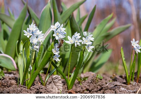 Puschkinia scilloides libanotica blue flowers with a green tinge bloomed in early spring. close up Stockfoto ©
