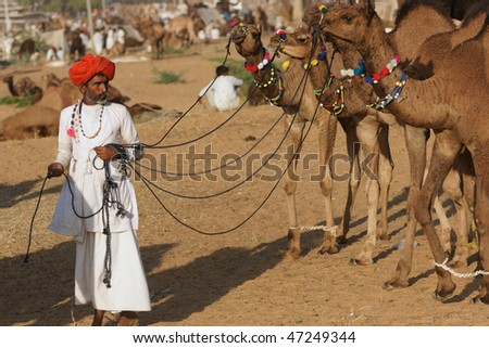 PUSHKAR, INDIA - NOVEMBER 8: Indian man leading a group of well groomed young camels across the sand at the Pushkar fair on November 8, 2008 in Rajasthan, India - stock photo