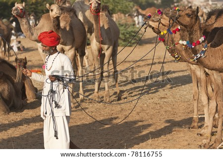 PUSHKAR, INDIA - NOVEMBER 8: Indian man leading a group of well groomed young camels across the sand at the Pushkar fair on November 8, 2008 in Rajasthan, India