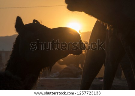 Pushkar / India 17 November 2018 Silhouette of camels just as the sun was setting over the Pushkar Desert in Rajasthan India #1257723133