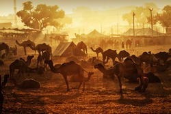 Pushkar. Rajasthan. India - November 25, 2014 : Silhouette of Camels against Golden light of the Sunrise at Pushkar Camel Fair (Pushkar Mela)