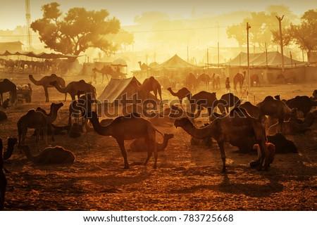 Pushkar. Rajasthan. India - November 25, 2014 : Silhouette of Camels against Golden light of the Sunrise at Pushkar Camel Fair (Pushkar Mela) #783725668