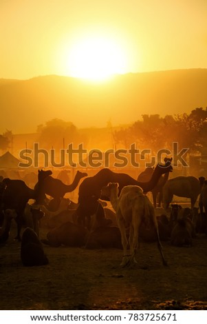 Pushkar. Rajasthan. India - November 25, 2014 : Silhouette of Camels against Golden light of the Sunrise at Pushkar Camel Fair (Pushkar Mela) #783725671