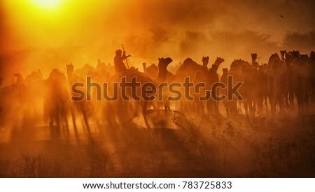 Pushkar. Rajasthan. India - November 25, 2014 : Silhouette of Camels against Golden light of the Sunrise at Pushkar Camel Fair (Pushkar Mela) #783725833