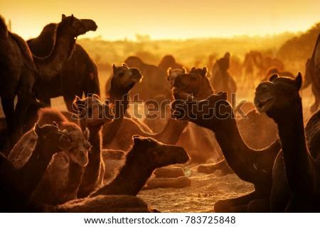 Pushkar. Rajasthan. India - November 25, 2014 : Silhouette of Camels against Golden light of the Sunrise at Pushkar Camel Fair (Pushkar Mela) #783725848