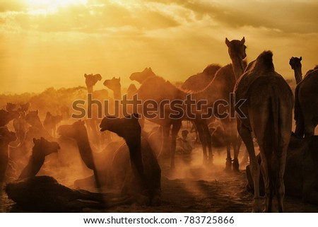 Pushkar. Rajasthan. India - November 25, 2014 : Silhouette of Camels against Golden light of the Sunrise at Pushkar Camel Fair (Pushkar Mela) #783725866
