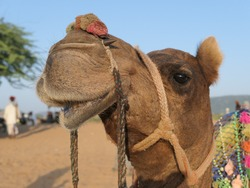 Pushkar, Rajasthan, India, October 15, 2019: A camel at rest on an outride out-ride in the Thar Desert of Rajasthan – ears peaked, eyes open and nose in the air.