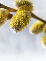 Pussy willow branch with catkins on a blue blurred background closeup. Macro photo of spring willow furry buds.