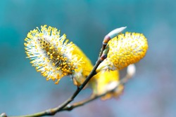 Pussy willow branches background, close-up. Willow twigs with catkins on blue. Spring easter pussy willow branches on blue background.