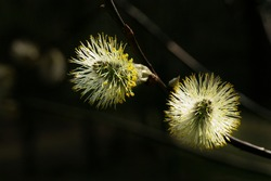 Pussy-willow, the first spring source of pollen, a protein food for bees. Beautiful pussy willow flowers branches. Easter palm sunday holiday. Spring easter pussy willow branches.