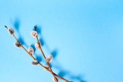 Pussy willow twig on blue color background. Copy space. Empty text place. Banner. Easter holiday card. Springtime mockup design. Christ is risen. Palm Sunday. Symbol of faith. To view. Visiting card.