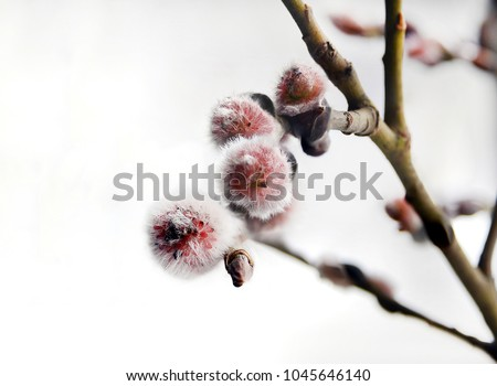 pussy willow with flowers, Sálix,genus of woody plants of the family Willow, willow for Easter