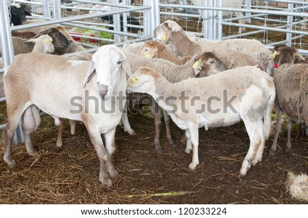 PUTRAJAYA, MALAYSIA - NOV 27 : Sheep in the Straw at Malaysian Agriculture, Horticulture and Agrotourism Show (MAHA) 2012 on November 27, 2012 in Putrajaya, Malaysia