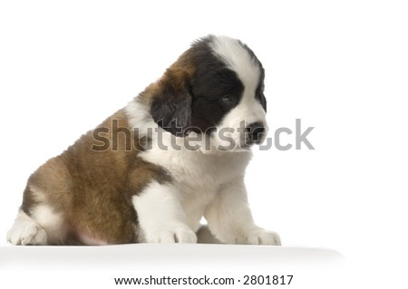 puupy Saint Bernard in front of white background