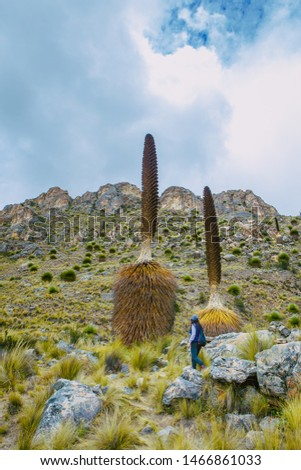Puya Raimondi n the Cañon de shucto,  Canyon, imposing rock formation is a geological formation modeled by water erosion. Located in Canchayllo Jauja #1466861033