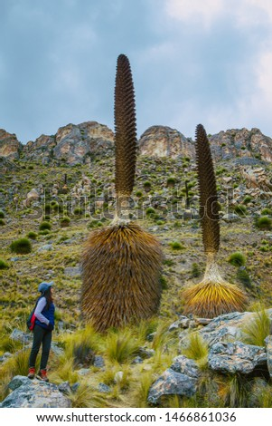 Puya Raimondi n the Cañon de shucto,  Canyon, imposing rock formation is a geological formation modeled by water erosion. Located in Canchayllo Jauja #1466861036