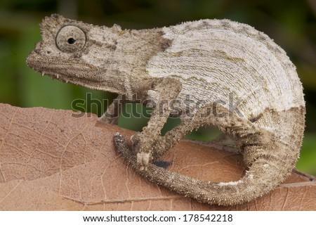 Pygmy chameleon / Rieppeleon kerstenii