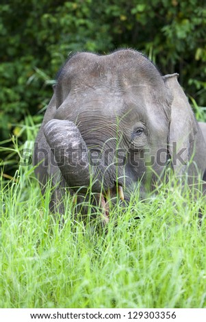 Pygmy elephant on the Kinabatangan River, Sabah. Borneo, Malaysia.