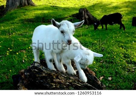 Pygmy goat kid twins, family farm, Webster County, West Virginia