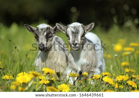 Pygmy Goat or Dwarf Goat, capra hircus, 3 Months Old Baby Goat standing on Dandelions   Photo stock ©