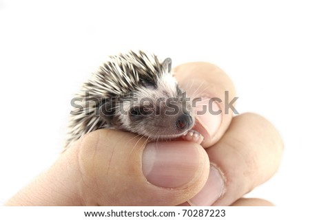 pygmy hedgehog in hand