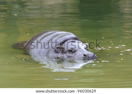 Pygmy hippo having a swim