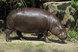 Pygmy hippopotamus (Choeropsis liberiensis); captive animal