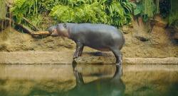Pygmy hippopotamus near water - Hexaprotodon liberiensis. Liberian Hippo.