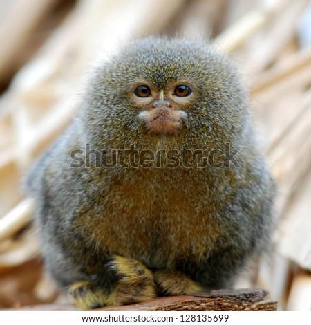 pygmy marmoset ape