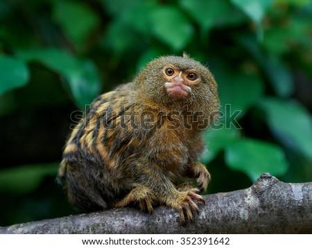 Pygmy marmoset (Cebuella pygmaea) sitting on a branch in its habitat